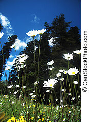 ox-eye daisy meadow growing on a pasture in the Carpathian...