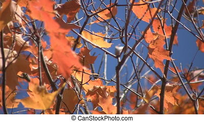 Fall leaves - Bright fall colours on a sunny day