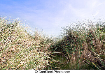 tall sand dune reeds - tall grass on sand dunes on the west...