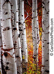 Fall Birch Leaves - Detail of Golden Autumn Birch Leaves...