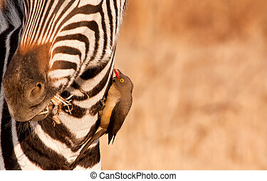 Redbilled-oxpecker pecking on zebras neck getting rid of...