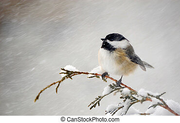 Chickadee in a snow storm. - A cute little chickadee perched...