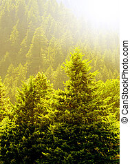 Pine Trees and Early Summer Light - View of forrest of green...
