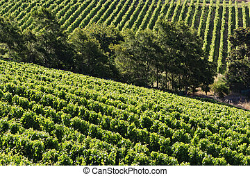 Vineyard - landscape rows of beautiful vines