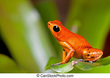 orange poison dart frog - frog orange poisonous animal of...