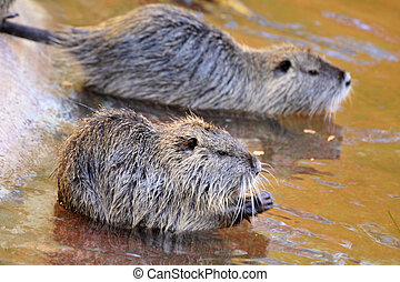 nutria - Coypu or Nutria ,Myocastor coypus, in the water;...