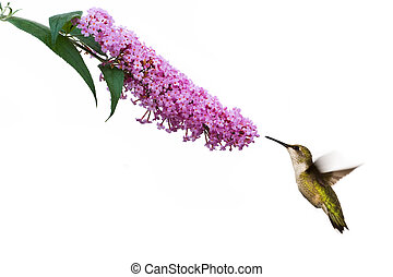 hummingbird hovers at pink buddleia flower - female ruby...