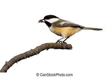 black-capped chickadee eats a sunflower seed while perched...