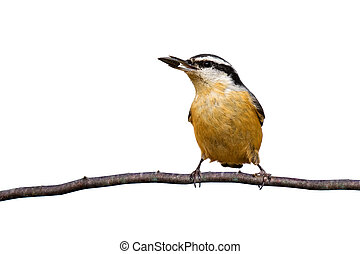 red-breasted nuthatch holds a sunflower seed while perched...