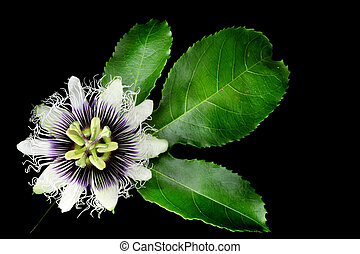 Passion Fruit Flower Isolated on Black