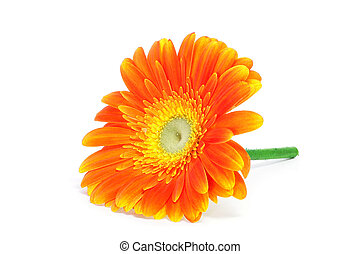 gerbera daisy - an orange gerbera daisy on a white...