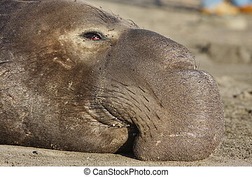 Elephant Seal - Large male elephant seal at a beach
