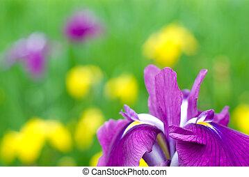 Close up of japanese iris - Close up of purple japanese iris...