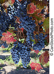 Wine Grapes at Harvest Time - Bunches of red wine grapes...