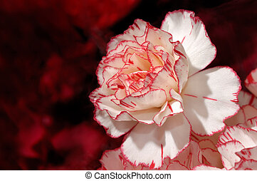 Beautiful White with Red Carnation Flower - Closeup of a...