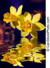 Yellow Narcissus flowers touching water - Closeup of yellow...
