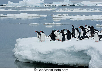 Penguins on the ice. - Gentoo penguin band is on the ice...