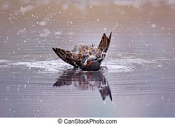Bird Bath - A bird taking a bath in a pool of water....