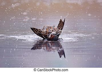Bird Bath - A bird taking a bath in a pool of water...