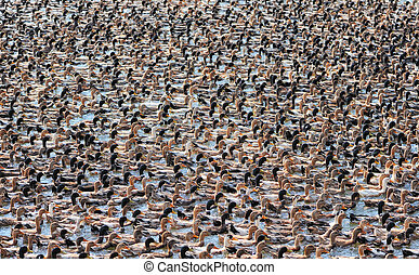 Poultry Farm - Numerous flock of ducks floating on the water