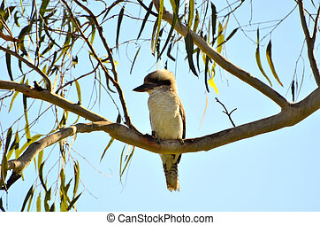 Kookaburra - A Kookaburra sitting on a gum tree branch....