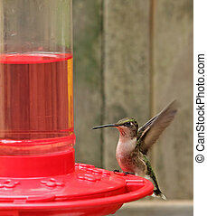 Ruby-throated Hummingbird, Archilochus colubris - Female...