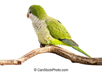 monk parrot profiles its green feathers in the sunlight;...