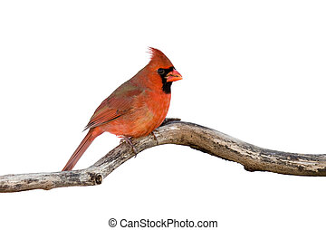 profile of a male cardinal sitting on a branch; white...