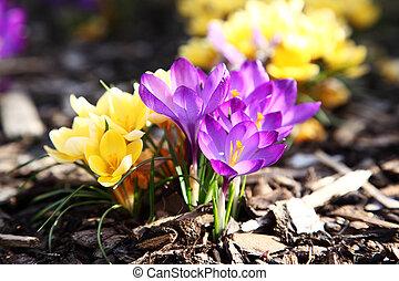 Purple and yellow crocus in garden