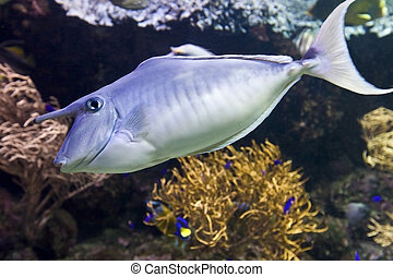 Coral fish with horn underwater Animal