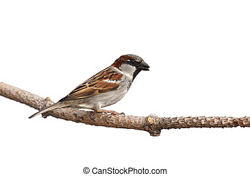 full profile of sparrow holding a sunflower seed in its beak