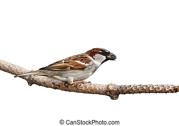 sparrow prepares for flight while holding a sunflower seed