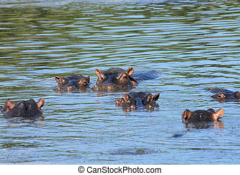 Family of hippopotamuses swimming in shallow water of the...