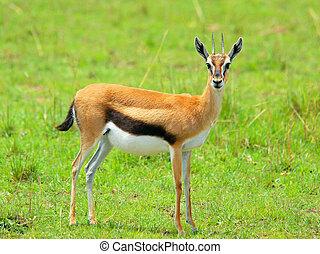 Female Thomson Gazelle - Thomson Gazelle in the Masai Mara...