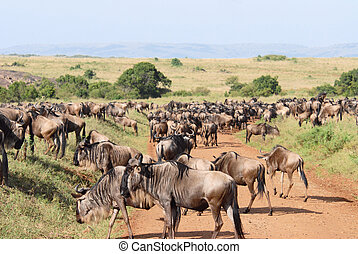 Herd of antelopes Gnu. Focus on the nearest antelope (Masai...