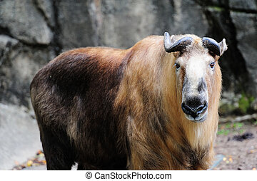 Chicago zoo - Sichuan Takin in Chicago zoo