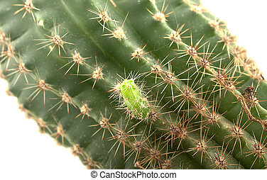 Small green cactus was born on the big one
