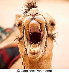 Yawning camel in Petra, Jordan