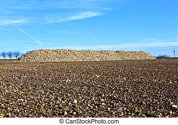 Pile of harvested beets against the blue  sky