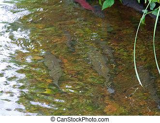 main run blue-backed salmon 1 - main run blue-backed salmon,...