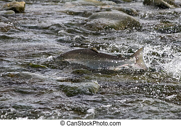 the Silver salmon going on spawning 1 - the Silver salmon...