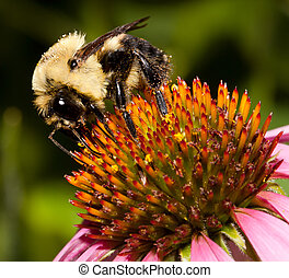 bumble bee feeds on the pollen of a purple cone flower;...