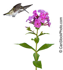 hummingbird floats over a phlox - hummingbird with wings...