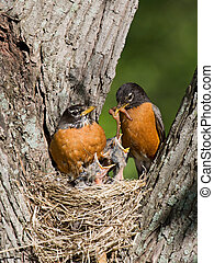 robins feed their young - father robin feed his unfledged...