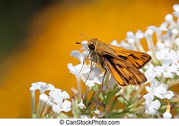 fiery skipper butterfly drinks nectar - fiery butterfly sips...