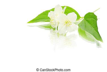 jasmine on white - beautiful flowers of jasmine on white