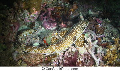Epaulette Shark - The walking shark, Epaulette Shark,...