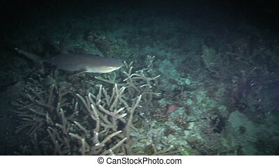 Reef Shark - Reef whitetip shark, Triaenodon obesus, Papua...