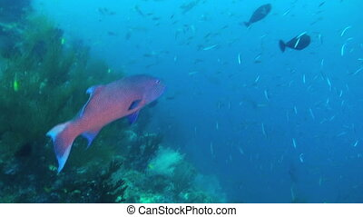 Sweetlips Fish - Giant Sweetlips, Plectorhinchus...