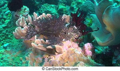 Rhinopias - Merlet's Scorpionfish, Rhinopias, Rhinopias...